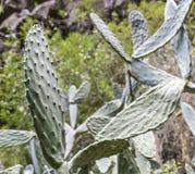 Завод кактуса Macrocalyx Opuntia стоковые изображения rf