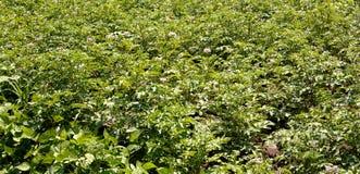 Завод картошки зеленых густолиственных овощей Стоковое Изображение