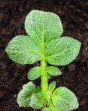 Завод картошки Стоковая Фотография RF