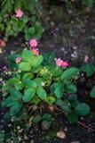 Завод клубники с розовыми цветками стоковые фото