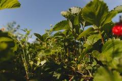 Завод клубники Blossoming клубники Стоковые Фотографии RF