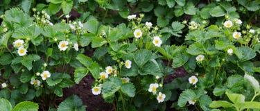 Завод клубники Blossoming клубники Stawberry кусты Стоковое Изображение