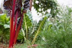 завод корня свеклы растя в огороде культивирование почвы A Стоковое Изображение RF