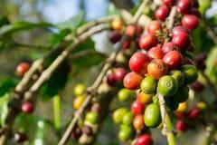Завод кофейного зерна экономики Стоковое Фото