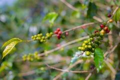 Завод кофе, зрелые кофейные зерна на конце ветви вверх, зеленые красные незрелые зерна кофе, селективный фокус Стоковые Изображения
