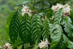 завод кофе цветеня стоковое фото
