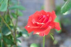 Завод красной розы Стоковые Изображения