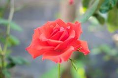 Завод красной розы Стоковое Изображение