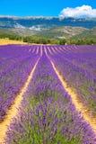 завод лаванды ландшафта ароматичного поля травяной цветет пурпур стоковое изображение rf