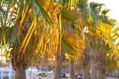 Завод ладони желтый и зеленый тропический листьев предпосылки Стоковые Изображения