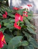 Завод лилии фламинго в парке Стоковая Фотография