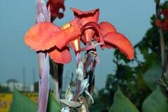 Завод лилии Canna цветка Canna Стоковые Изображения