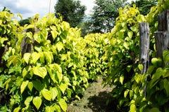 Завод листьев бетэла Стоковое Изображение RF