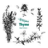 Завод, листья, цветки и пук тимиана vector иллюстрация нарисованная рукой Стоковая Фотография RF