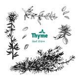 Завод, листья, цветки и пук тимиана vector иллюстрация нарисованная рукой Стоковое Фото