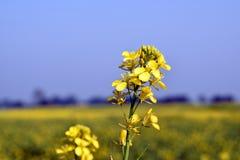 Завод мустарда с цветками с backgound неба Стоковые Фотографии RF