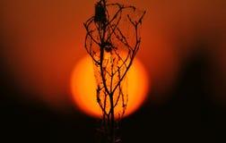 Завод на заходе солнца через большое оранжевое солнце стоковое изображение rf