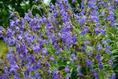 Завод общего шалфея в цветке Стоковое фото RF