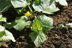 Завод огурца растя в кровати сада Стоковые Фото