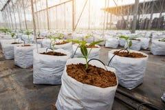Завод огурца растя в парнике Стоковое Изображение RF