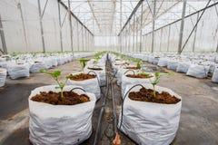 Завод огурца растя в парнике Стоковые Изображения