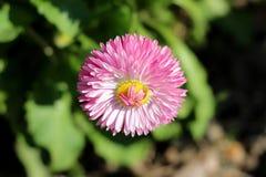 Завод одиночные полностью открытые зацветая общая маргаритка или perennis Bellis herbaceous постоянный с большим розовым помпоном стоковые изображения rf