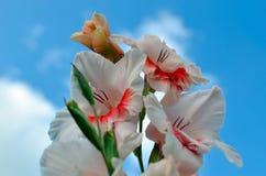 Завод орнаментального сада гладиолуса против голубого неба Стоковые Фото
