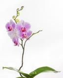Завод орхидеи бабочки на белой предпосылке Стоковое Фото