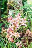 Завод орхидеи с листьями зеленого цвета и много цветение розового цвета Romatic и завод свадьбы Стоковое Изображение RF
