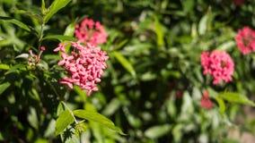 Завод Панамы розовый в парке Стоковая Фотография