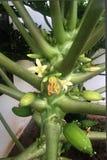 Завод папапайи с цветками стоковое фото