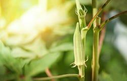 Завод плода бамии/свежая зеленая бамия на дереве в саде природы стоковые изображения rf
