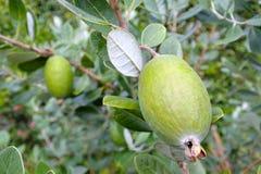 Завод плодоовощ Feijoa растет на дереве Стоковая Фотография