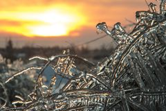 Завод поленики упакованный в льде стоковое изображение rf