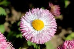 Завод полностью открытые зацветая общая маргаритка или perennis Bellis herbaceous постоянный с большим белым и розовым помпоном к стоковые фотографии rf