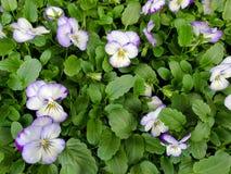 Завод пурпура и белых pansy стоковая фотография