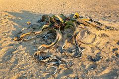 Завод пустыни mirabilis Вельвичии, Намибия Стоковые Изображения RF