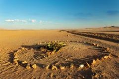 Завод пустыни mirabilis Вельвичии, Намибия Стоковые Изображения