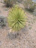 Завод пустыни Soutwestern Соединенных Штатов Стоковые Изображения RF