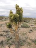 Завод пустыни Soutwestern Соединенных Штатов Стоковые Фотографии RF
