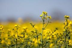 Завод рапса Желтое лето цветет на cr мустарда рапса семени масличной культуры Стоковая Фотография RF