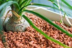 Завод растет в зернах в цветочном горшке стоковое изображение