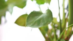 Завод с большими листьями, видео дома филодендрона внутренний слайдера сток-видео