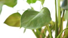 Завод с большими листьями, видео дома филодендрона внутренний слайдера акции видеоматериалы