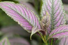 Завод с зелеными фиолетовыми листьями стоковая фотография