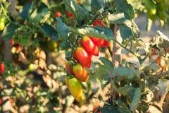 Завод томата сливы, красные томаты стоковые фото