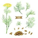 Завод укропа при цветки, листья и семена изолированные на белой иллюстрации акварели Стоковое Изображение