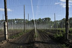 Завод хмеля растя на ферме хмеля Свежие и зрелые хмели весной Ингредиент продукции пива Концепция заваривать Свежий хмель стоковые фотографии rf