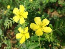 Завод цветка 3 цветков желтый стоковое изображение rf