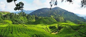Завод чая в гористых местностях Камерона в Малайзии стоковое фото rf